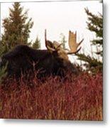 A Big Fierce-eyed Bull Moose Metal Print