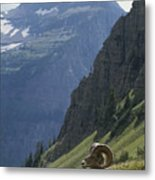 A Bighorn Sheep Ram, Ovis Canadensis Metal Print