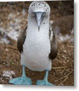 A Blue Footed Booby Looks At The Camera Metal Print