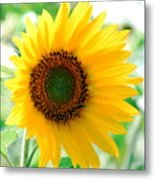 A Bright Yellow Sunflower Metal Print