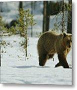 A Brown Bear Ursus Arctos Walks Metal Print