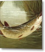 A Brown Trout Coming To The Gaff  Metal Print