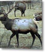 A Bull Elk  Metal Print