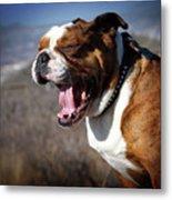 A Bulldog's Mighty Yawn Metal Print