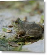 A Bullfrog At The Sunset Zoo Metal Print