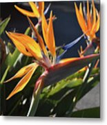 A Bunch Of Bird Of Paradise Flowers Bloomed  Metal Print