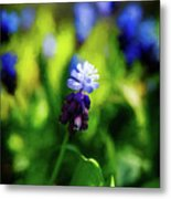 A Bunch Of Flowering Two-tone Grape Hyacinths, No.2. Metal Print