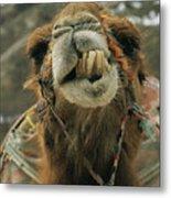 A Camel Displays Its Teeth Metal Print