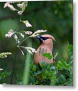A Cedar Waxwing Facing Left Metal Print