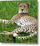 A Cheetah Resting On The Grass Metal Print