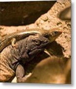A Chuckwalla Lizard And A Skink Metal Print