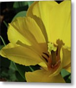 A Close Up Look At A Yellow Flowering Tulip Blossom Metal Print