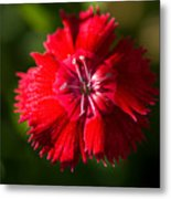 A Close Up Of A Dianthis Flower Metal Print