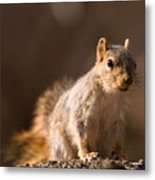 A Close-up Of A Fox Squirrel Sciurus Metal Print by Joel Sartore