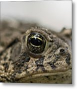 A Close-up Of A Toad Found In Dunbar Metal Print
