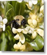 A Close View Of A Bumblebee Pollinating Metal Print