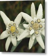 A Close View Of An Edelweiss Flower Metal Print