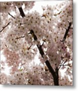 A Cloud Of Pastel Pink Cherry Blossoms Celebrating The Arrival Of Spring  Metal Print