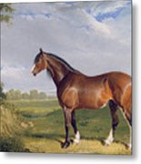 A Clydesdale Stallion Metal Print