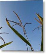 A Corn Field At The Historic Waveland Metal Print