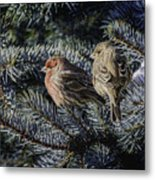 A Couple Of House Finch Metal Print by LeeAnn McLaneGoetz McLaneGoetzStudioLLCcom