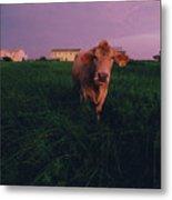 A Cow Walks Near Beachhouses Metal Print