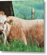 A Cow's Tale - Lazy Day Metal Print