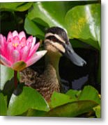 A Curious Duck And A Water Lily Metal Print