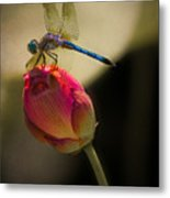 A Dragonfly Rests Momentarily On A Lotus Bud Metal Print
