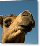 A Dromedary Camel At The Lincoln Metal Print