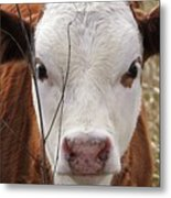 A Face You Can Love - Cow Art #609 Metal Print