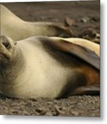 A Female Antarctic Fur Seal Sunning., By Noaa Metal Print