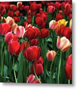 A Field Of Tulips Metal Print