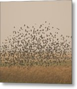 A Flock Of Birds Swarming A Field Metal Print