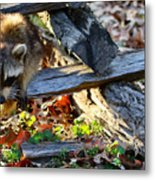 A Foraging Raccoon Metal Print