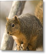 A Fox Squirrel Sciurus Niger Perches Metal Print