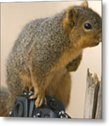 A Fox Squirrel Sciurus Niger Sits Metal Print