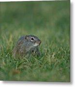 A Free-roaming Ground Squirrel At Omaha Metal Print
