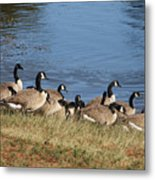 A Gathering Of Geese Metal Print