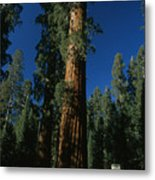 A Giant Sequoia Tree Towers Metal Print