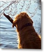 A Golden Retriever And His Stick Metal Print