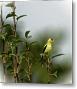 A Goldfinch In A Pear Tree Metal Print