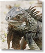 A Gray Iguana With Spines Along It's Back Metal Print