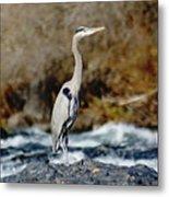 A Great Blue Heron At The Spokane River 2 Metal Print