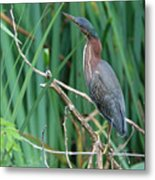 A Green Heron By The Canal Metal Print