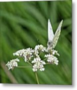 A Green-veined White (pieris Napi) Metal Print by John Edwards
