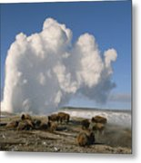 A Group Of American Bison Rest Metal Print
