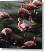 A Group Of Flamingos At The Folsom Metal Print