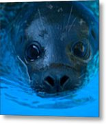 A Harbor Seal At The Lincoln Childrens Metal Print
