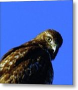 A Hawk Looking Back  Metal Print